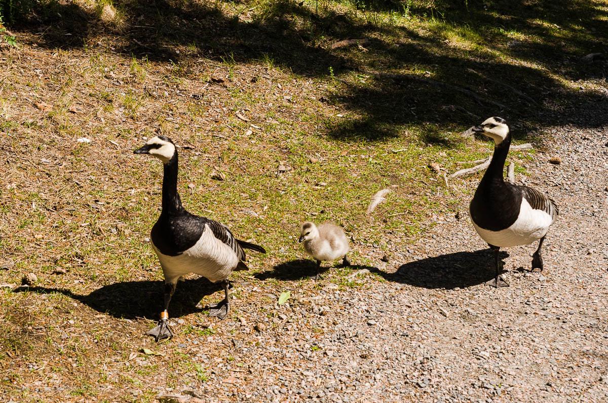 Fjaderholmarna Geese