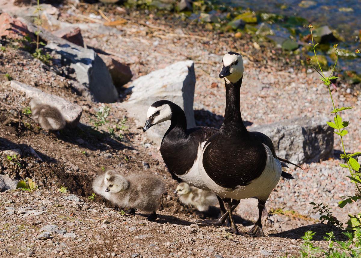 Geese, Fjaderholmarna