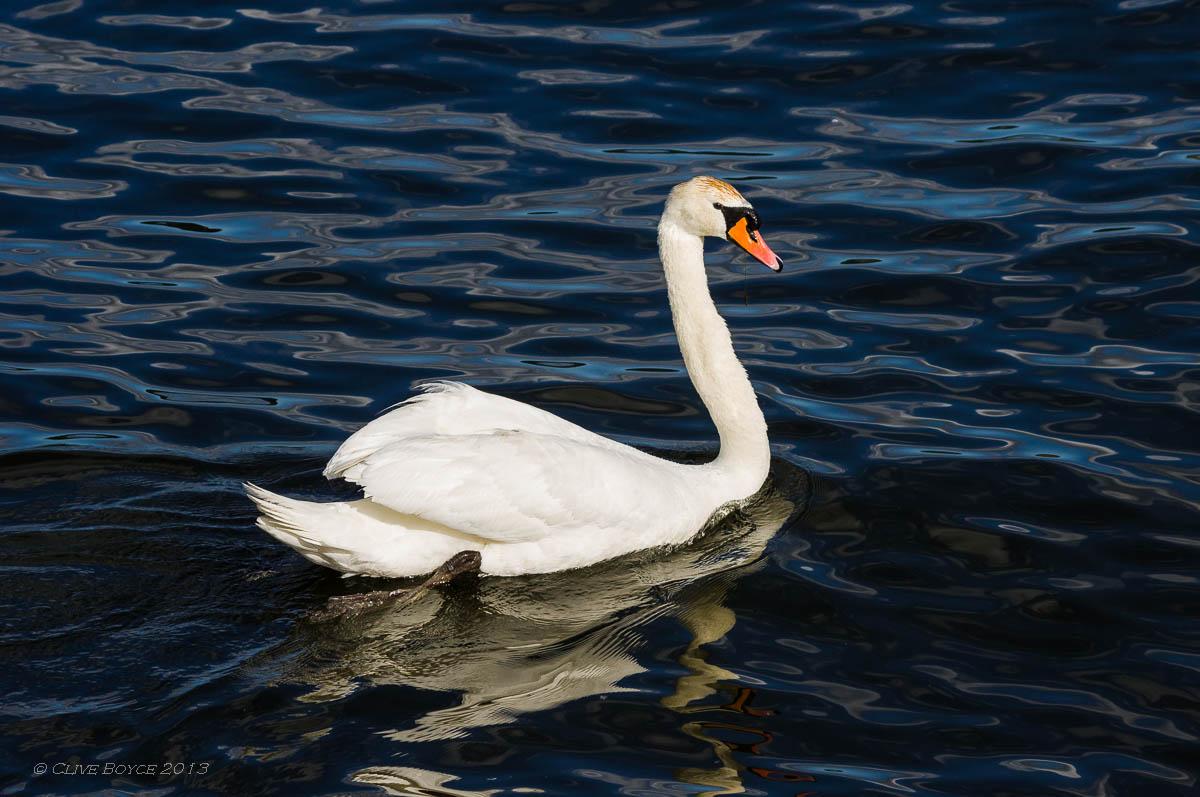 White swan, Fjaderholmarna, Sweden