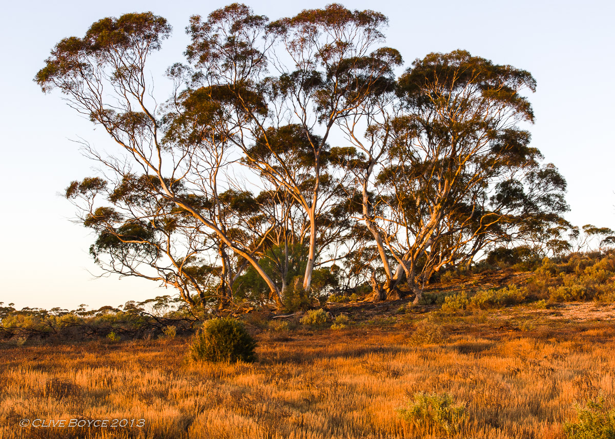 Mallee bathed by morning light