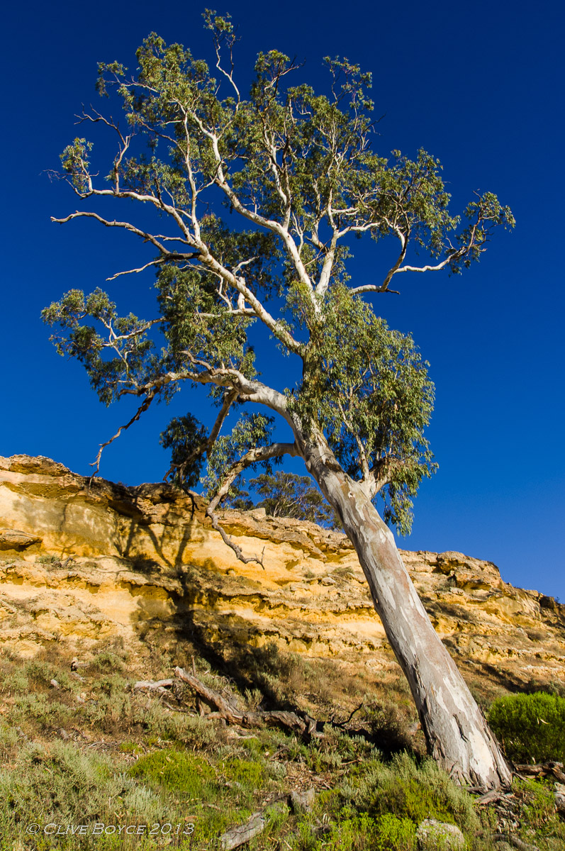 River red gum, Murray River