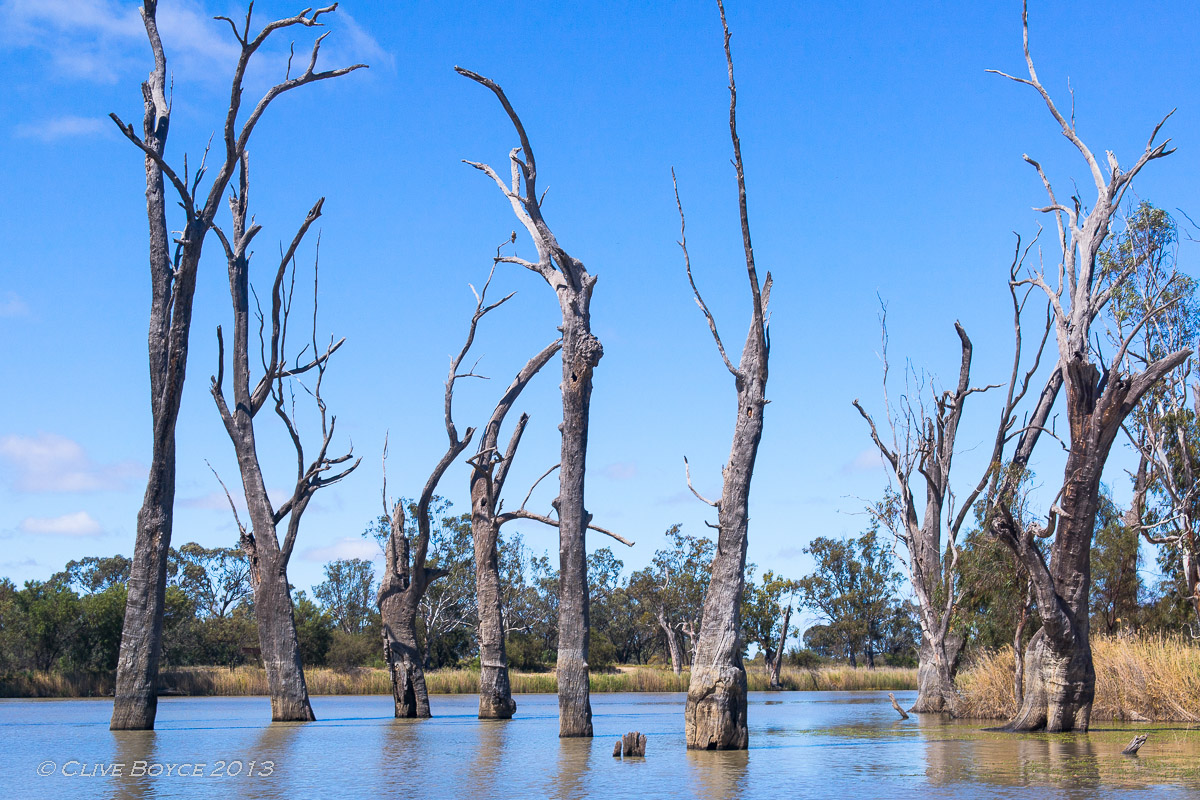Drowned river red gums on the River Murray, Australia