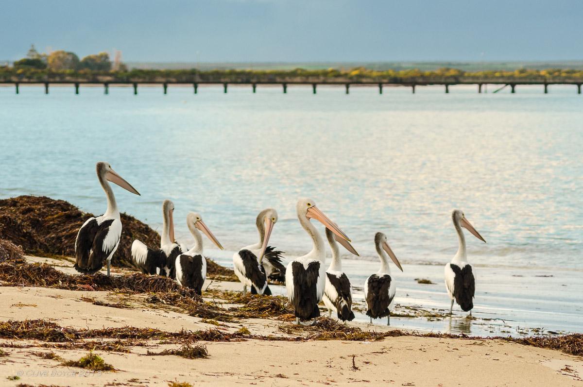 Pelicans, Marion Bay, South Australia