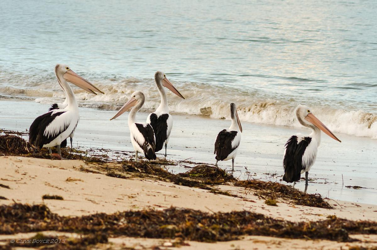 Pelicans, Marion Bay, South Austalia
