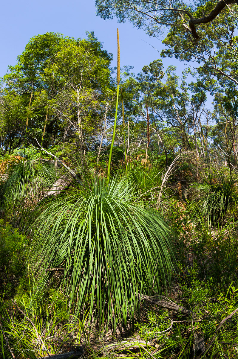Grass Tree, Lane Cove, Sydney