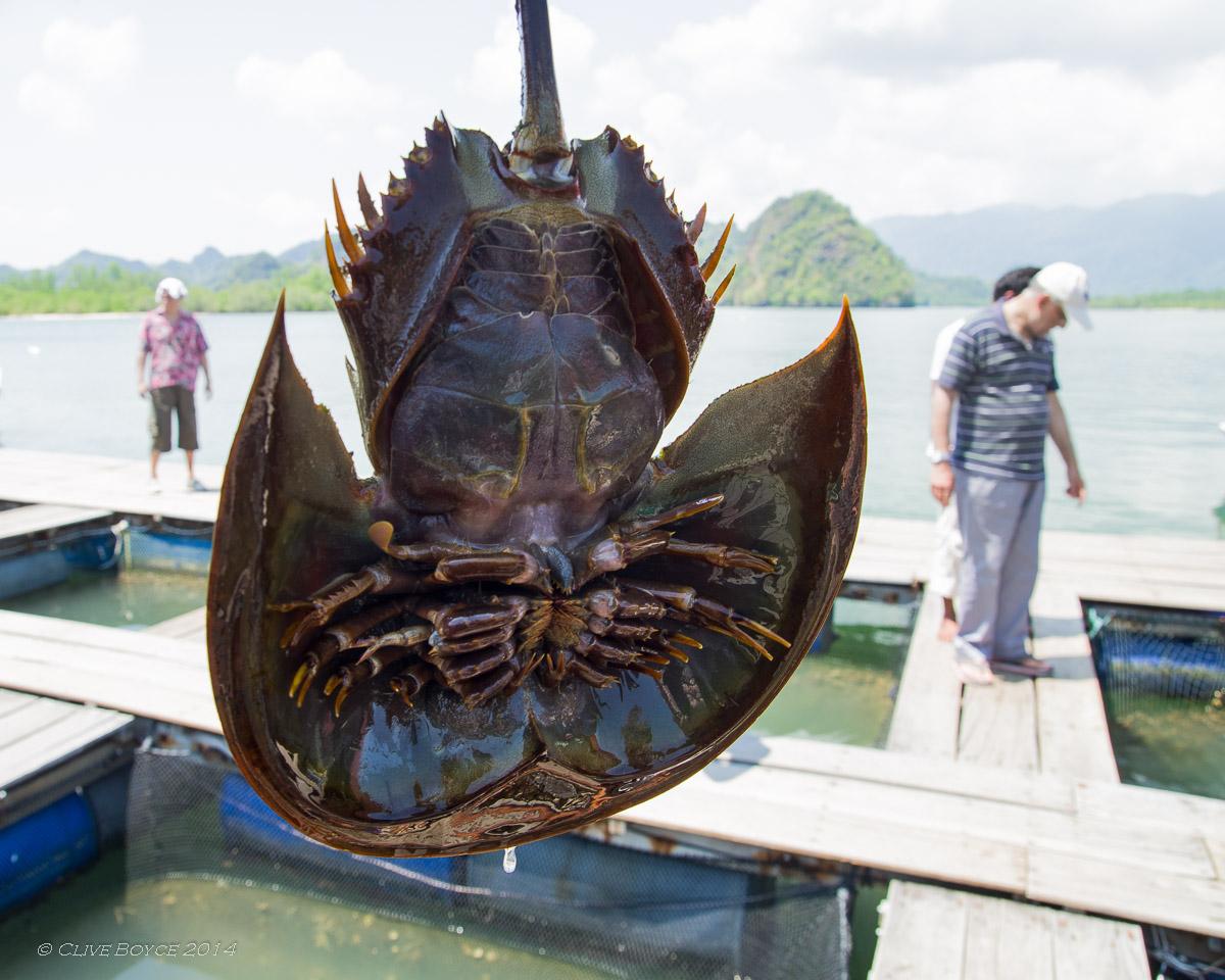Horseshoie crab, Kilim Karst Geoforest, Langkawi