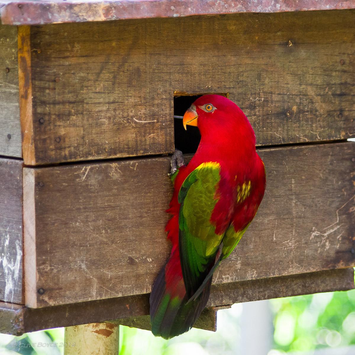 Red lory, KL Bird Park