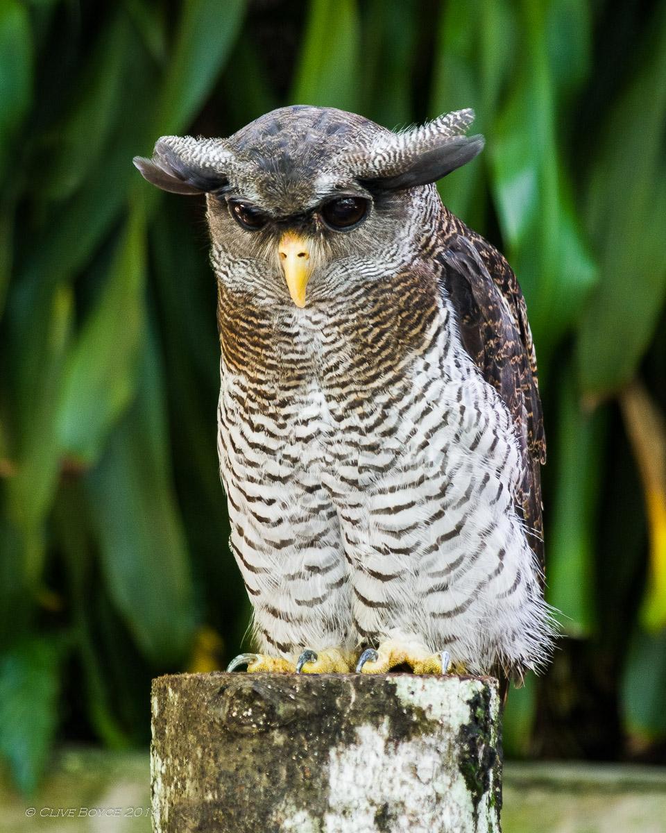 Barred eagle owl, KL Bird Park