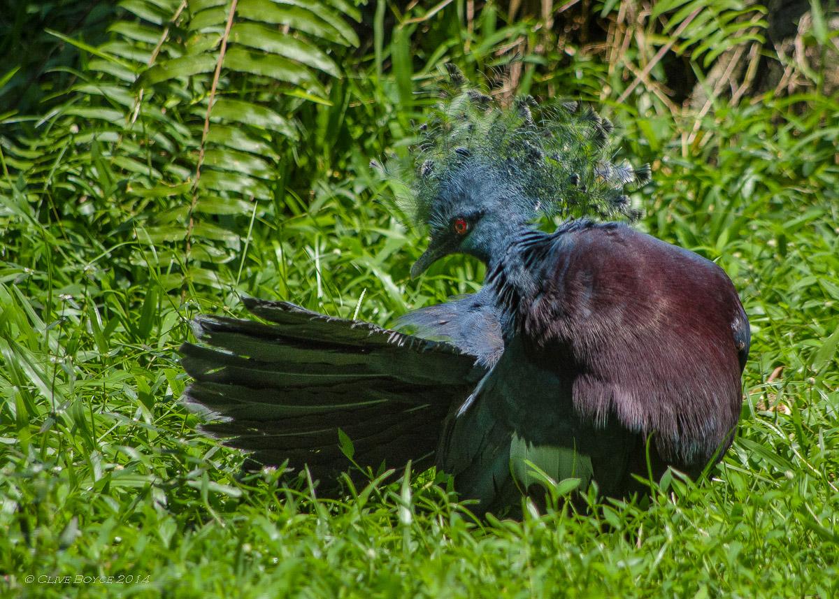 Victoria Crowned Pigeon, KL Bird Park