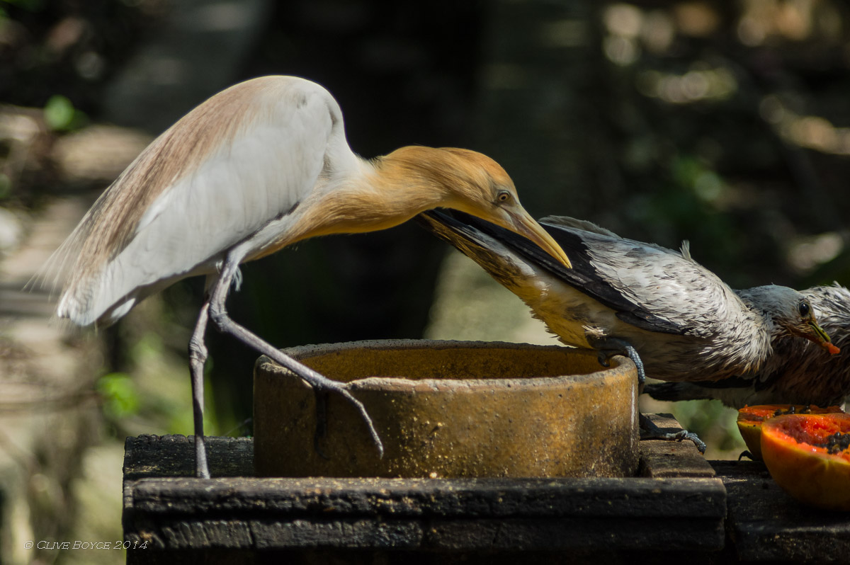 Cattle egret, KL Bird Park