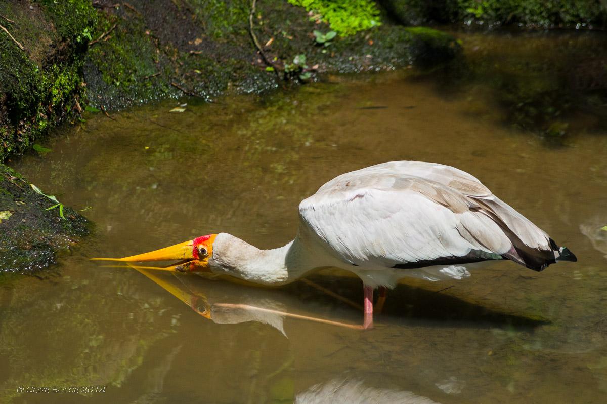 Yellow billed stork, KL Bird Park