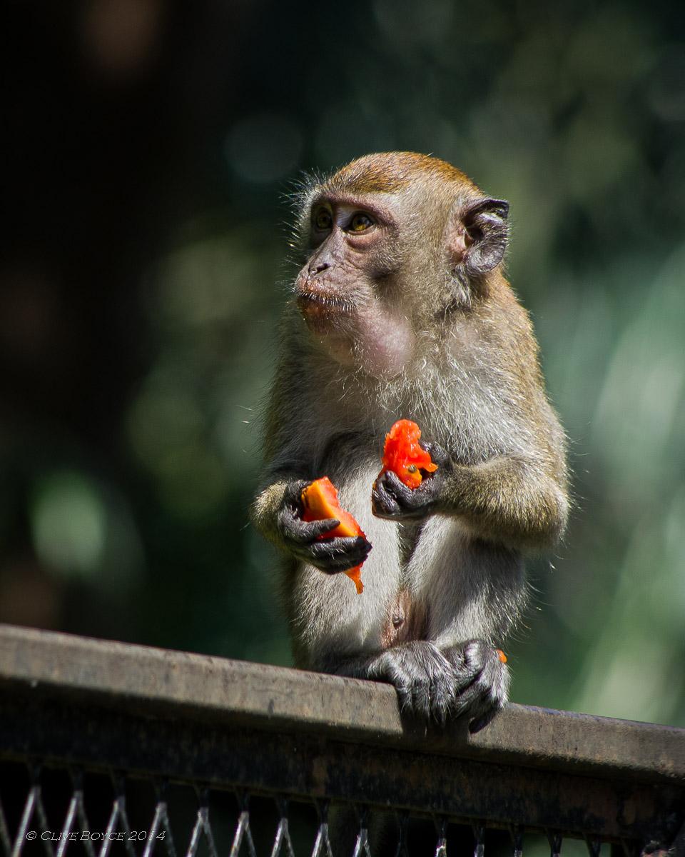 Macaque monkey, KL Bird Park
