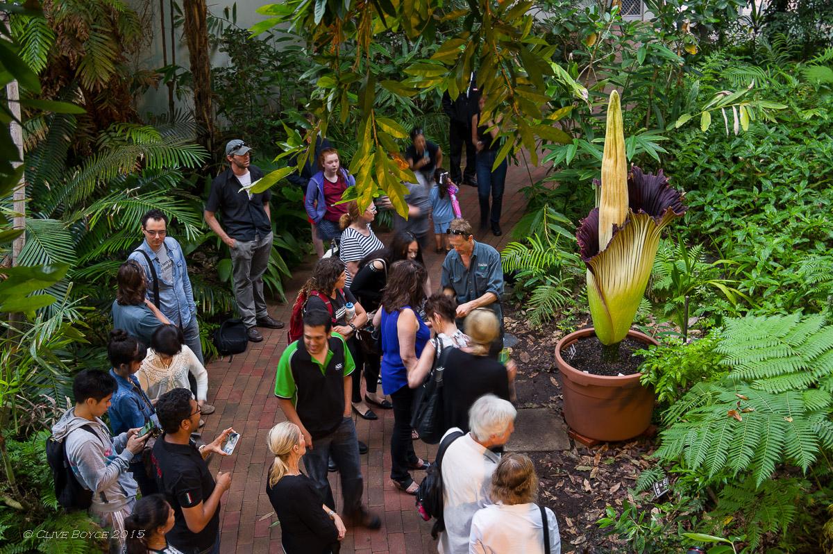 Titan Arum, Adelaide Botanic Gardens